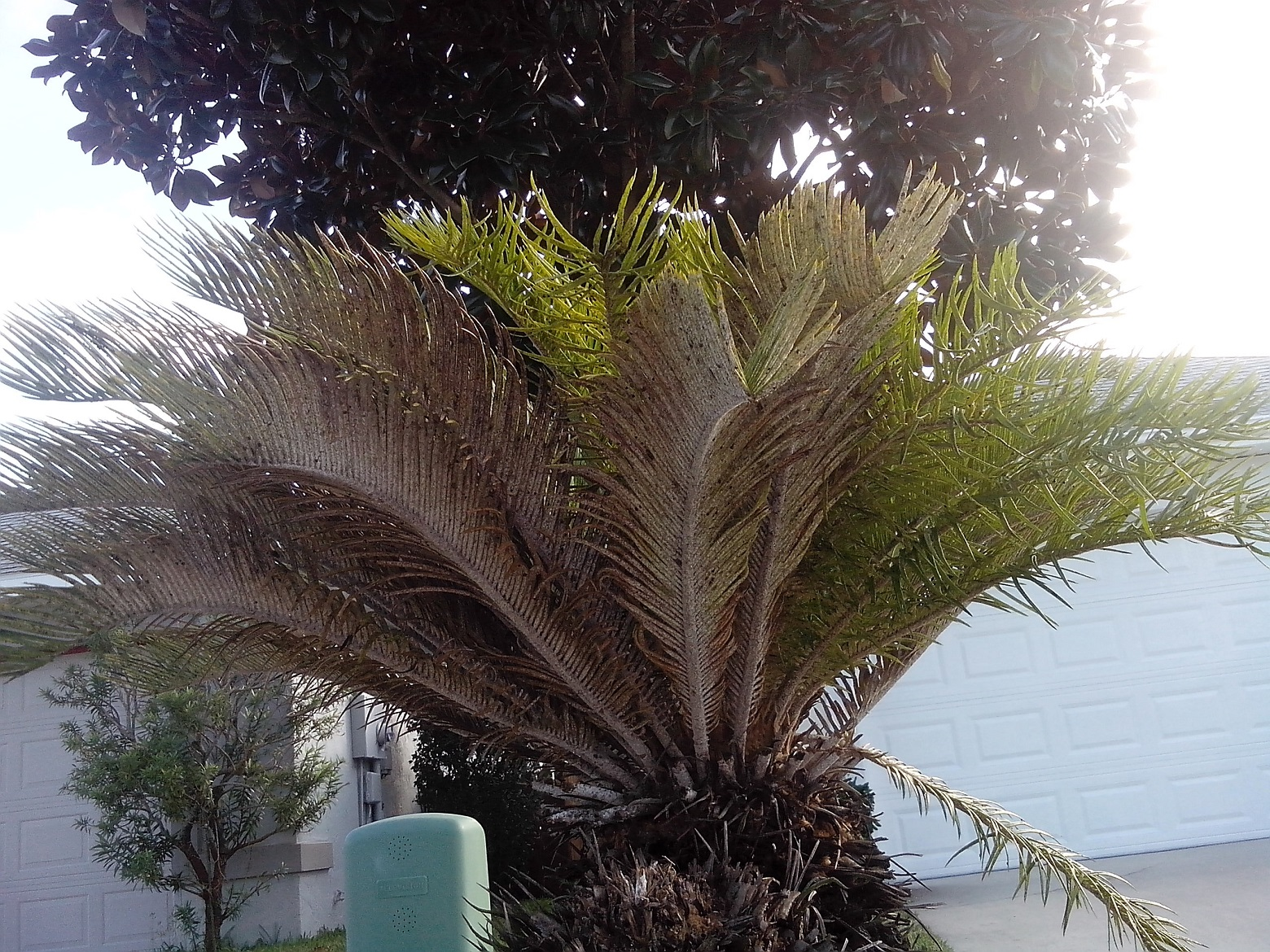 sago-palm-brown